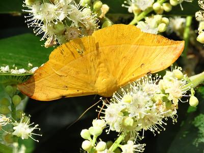 Moth 1 - EMPEROR MOTH_09