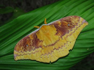 Moth 1 - EMPEROR MOTH_10