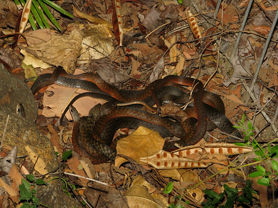 KEELBACKS 04_02 6 SNAKES IN TOTAL