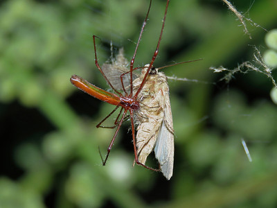 Long-jaw Spider_10