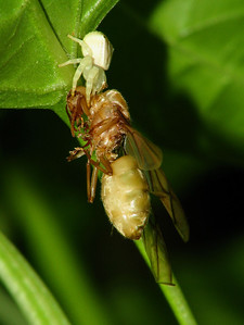 CRAB SPIDER_09