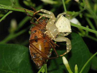 CRAB SPIDER_29