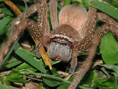 Huntsman Spider 14_04