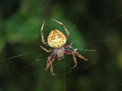 GARDEN ORB SPIDER_17