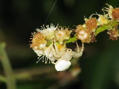 CRAB SPIDER_32