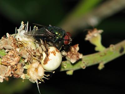 FLOWER SPIDER_19