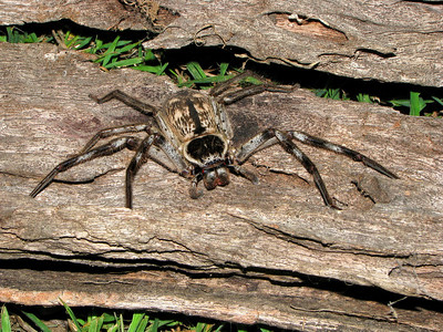 Huntsman Spider 04_01