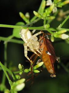 CRAB SPIDER_27