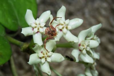 FLOWER SPIDER_21