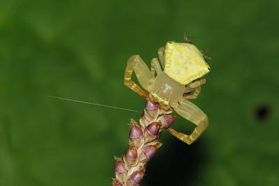 CRAB SPIDER_30