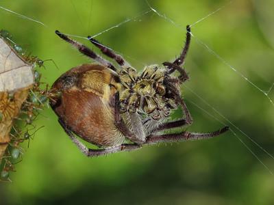 GARDEN ORB SPIDER_12
