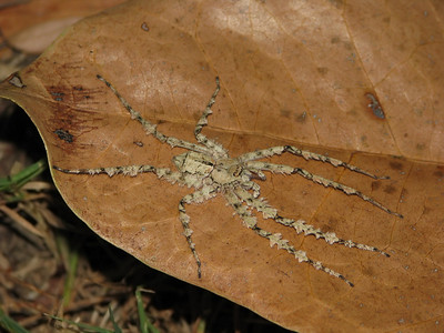 Huntsman Spider_08