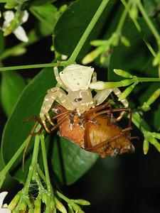 CRAB SPIDER_28