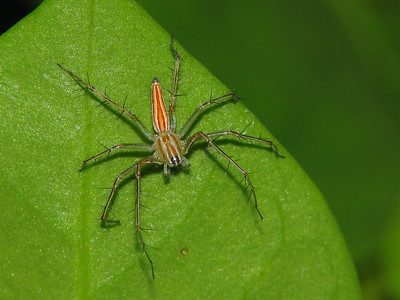 ELEGANT LYNX SPIDER - IMG_1558 R