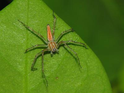 ELEGANT LYNX SPIDER - IMG_1558 R