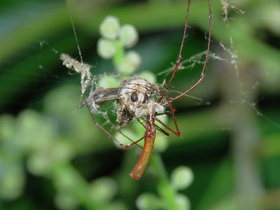 Long-jaw Spider_11