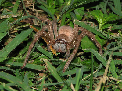 Huntsman Spider 14_03