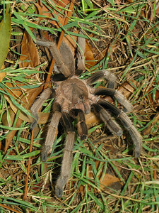 Huntsman Spider 01_06