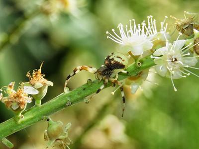 FLOWER SPIDER_20