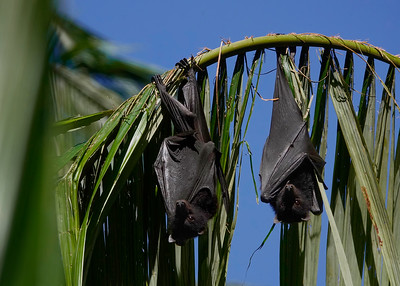 Black Flying-foxes, photographed at their colony at Eungella National Park. Such cute and interesting creatures on one side, on the other side the stench there was not for the fainthearted. Still, it was worth it.
