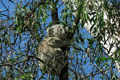 Image taken late in the afternoon, with the koala roosting in the shade, on what was a very hot 35 degreeC day.
