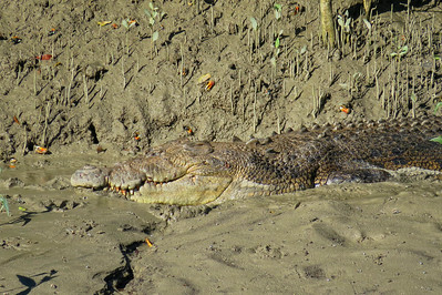 CROCODILE  03_16 This is a saltwater crocodile of at least 5 m ( 15 feet ) in length and around 700 kg ( 1500 lbs ) in weight. The crocodile must be of advanced age too, to have attained such a large size.
