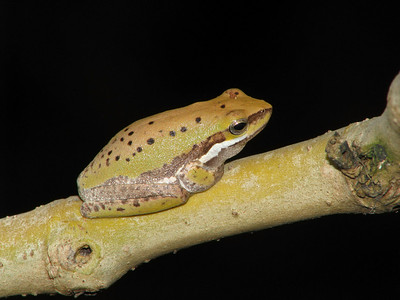 EASTERN DWARF TREE FROG_10