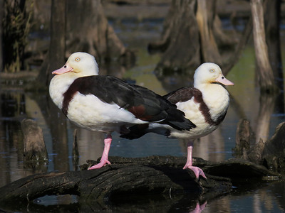 DUCK RADJAH SHELDUCK a_11