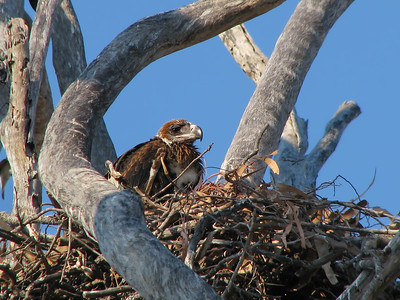 This is the Wedge-tailed Eagle chick in the nest, that had been used for a long time, judging by its appearance. We came back to this nest a year later, to see how the eagles were breeding, only to discover to our dismay that the farmer  had totally removed the tree, the nest was on. Made our day !!!! So much for bird conservation !