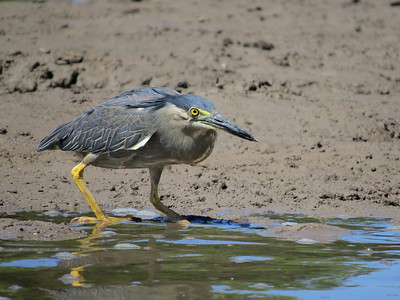 HERON STRIATED_54