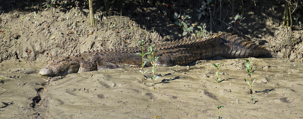 CROCODILE  PANORAMA 01 This is a saltwater crocodile of at least 5 m ( 15 feet ) in length and around 700 kg ( 1500 lbs ) in weight. The crocodile must be of advanced age too, to have attained such a large size.