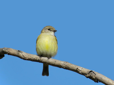 FLYCATCHER LEMON-BELLIED_08