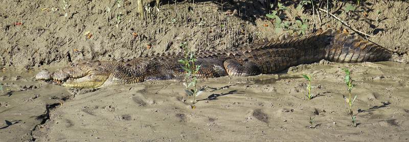 CROCODILE  PANORAMA 02 This is a saltwater crocodile of at least 5 m ( 15 feet ) in length and around 700 kg ( 1500 lbs ) in weight. The crocodile must be of advanced age too, to have attained such a large size.