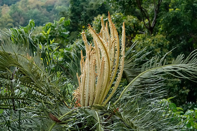 CYCAD - NEW LEAVES_02