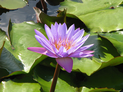 WATERLILLY LP _09
