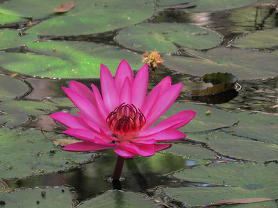 WATERLILLY_03