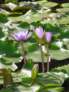 WATERLILLY LP _01