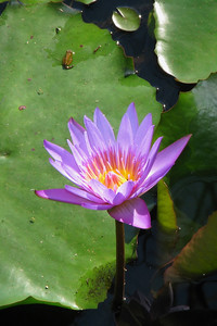 WATERLILLY LP _05