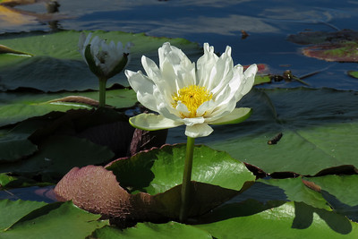 WATERLILLY_10