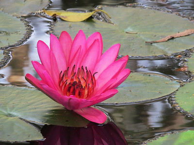 WATERLILLY_05
