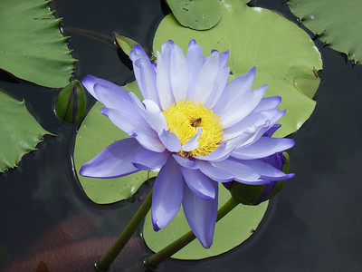 WATERLILLIES_12