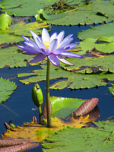 WATERLILLIES_06