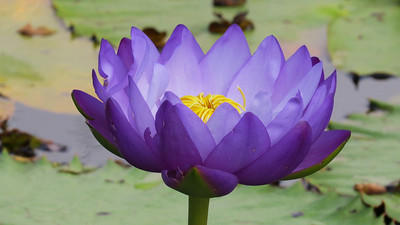WATERLILLIES_22