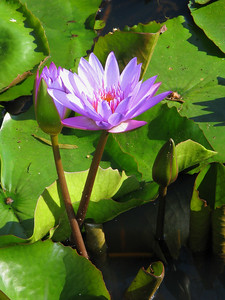 WATERLILLY LP _11
