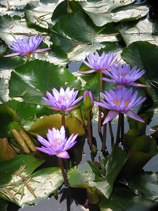 WATERLILLY LP _02