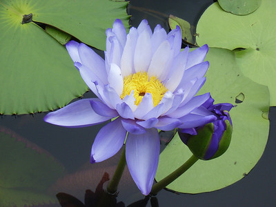 WATERLILLIES_21