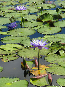 WATERLILLIES_07