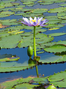 WATERLILLIES_05