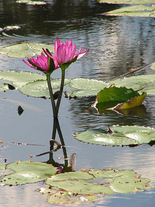 WATERLILLY LP PINK _02