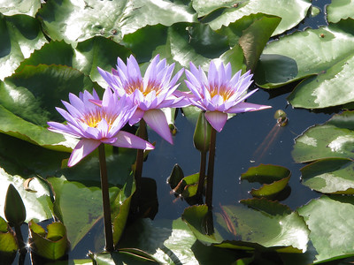 WATERLILLY LP _03